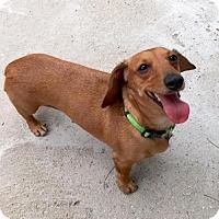 Adopt A Pet :: Star - Los Angeles, CA