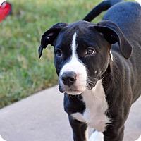 Adopt A Pet :: Dottie - Aubrey, TX