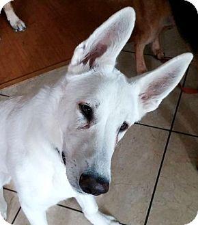 German Shepherd Dog Puppy for adoption in Kansas City, Missouri - Fresno