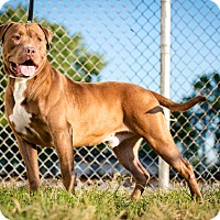American Pit Bull Terrier Mix Dog for adoption in Evansville, Indiana - Theo