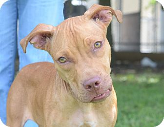 Pit Bull Terrier/Terrier (Unknown Type, Medium) Mix Dog for adoption in LAFAYETTE, Louisiana - BOLT