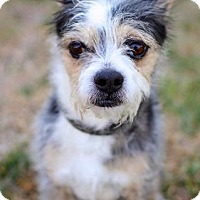 Jack Russell Terrier/Border Terrier Mix Dog for adoption in San Diego, California - Beebo