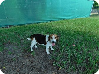 Beagle Mix Dog for adoption in Lake Panasoffkee, Florida - Buster