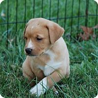 Adopt A Pet :: Jane Austen - Hanover, PA