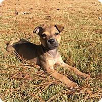 Adopt A Pet :: Brienne - Brattleboro, VT