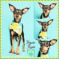 Adopt A Pet :: Minnie - Phoenix, AZ