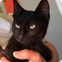 Adopt A Pet :: Brownie - Spring, TX
