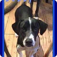 Adopt A Pet :: BOBBY - Jersey City, NJ