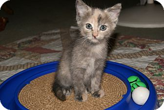 Domestic Shorthair Kitten for adoption in Bensalem, Pennsylvania - Tia