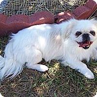 Adopt A Pet :: Amber - San Angelo, TX