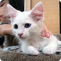 Adopt A Pet :: Cotton & Ivory - Irvine, CA