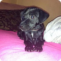 Adopt A Pet :: Shadow  7 lbs - Marlton, NJ