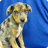 Adopt A Pet :: Sarge - Charlemont, MA