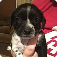 Adopt A Pet :: Harlow - Henderson, NV