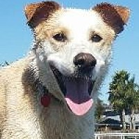 Australian Cattle Dog/Labrador Retriever Mix Dog for adoption in Pt. Richmond, California - NIKO