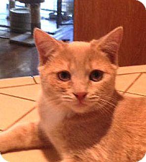 Domestic Shorthair Cat for adoption in Woodland Hills, California - Loki