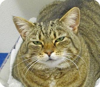 Domestic Shorthair Cat for adoption in Woodstock, Illinois - Tippy