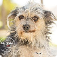 Dachshund/Terrier (Unknown Type, Small) Mix Dog for adoption in Inland Empire, California - PEPE