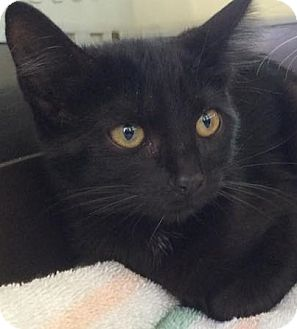 Domestic Mediumhair Kitten for adoption in Eureka, California - Velvet