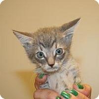 Domestic Shorthair Kitten for adoption in Wildomar, California - Copper