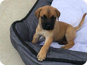 Labrador Retriever/Hound (Unknown Type) Mix Puppy for adoption in Raleigh, North Carolina - Mars