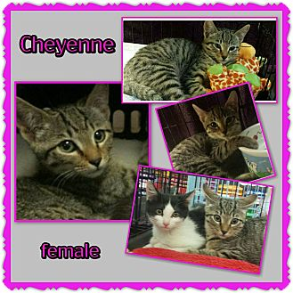 Domestic Shorthair Kitten for adoption in Richmond, California - Cheyenne
