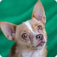Adopt A Pet :: Rossi - San Marcos, CA