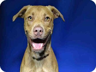 Labrador Retriever Mix Dog for adoption in Ocala, Florida - *SKIPPER