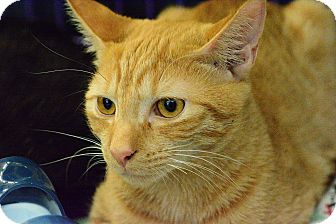 Domestic Shorthair Kitten for adoption in West Palm Beach, Florida - Donny