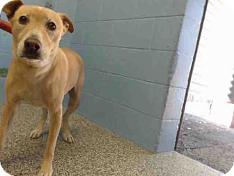 Labrador Retriever Mix Dog for adoption in San Bernardino, California - URGENT on 11/19 SAN BERNARDINO