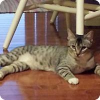 Siamese Cat for adoption in Jerseyville, Illinois - Toby