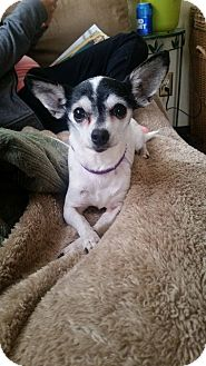 Chihuahua Dog for adoption in bridgeport, Connecticut - Nina