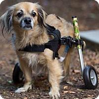 Adopt A Pet :: Sam the Man - Frederick, MD