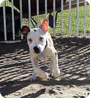 American Bulldog/Catahoula Leopard Dog Mix Puppy for adoption in Ocala, Florida - George Washington