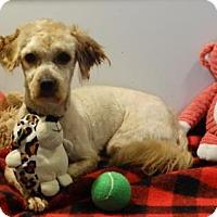 Adopt A Pet :: Scrappy Doo - Vacaville, CA