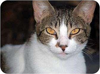 Domestic Shorthair Cat for adoption in Thibodaux, Louisiana - Sally FE2-7771