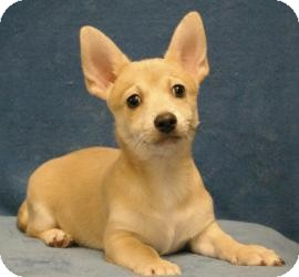 Chihuahua/Terrier (Unknown Type, Small) Mix Puppy for adoption in Sacramento, California - Wolfie