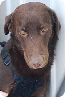 Labrador Retriever Dog for adoption in Sanford, Maine - Brody