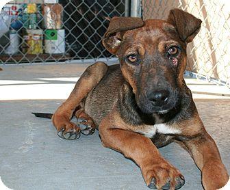 Sargent Adopted Puppy San Antonio Tx Dutch Shepherd