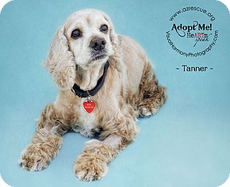 Cocker Spaniel Dog for adoption in Phoenix, Arizona - Tanner