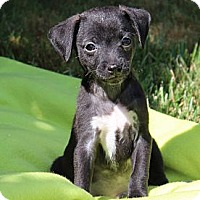 Adopt A Pet :: Sherlock - La Habra Heights, CA