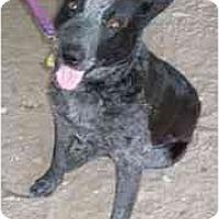 Adopt A Pet :: Tuff - Phoenix, AZ