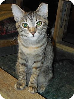Domestic Shorthair Kitten for adoption in Whiting, Indiana - JuJu Bead