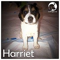 Adopt A Pet :: Harriet - Novi, MI