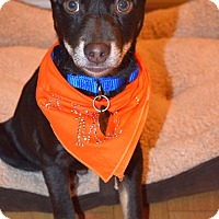 Adopt A Pet :: Chase - Knoxville, TN