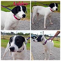Adopt A Pet :: Ashley - West Hartford, CT