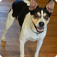Rat Terrier/Terrier (Unknown Type, Medium) Mix Dog for adoption in SUSSEX, New Jersey - JoJo(24 lb) New Pics & Video