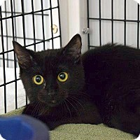Domestic Shorthair Cat for adoption in Denver, Colorado - Stuffing