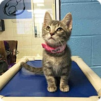 Adopt A Pet :: PUFF - Canfield, OH