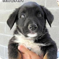 Adopt A Pet :: Micah (Puppy) - Lindsay, CA